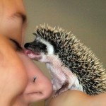 cute-animals-baby-hedgehog-licking-girls-nose-pics