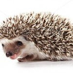 stock-photo-cute-little-hedgehog-isolated-on-white-11336353